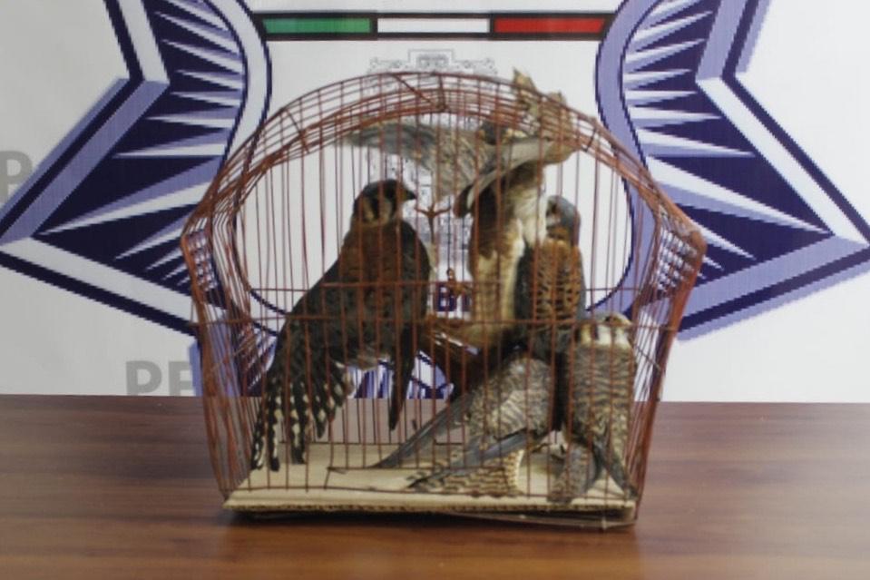 Detiene SSP a presunta vendedora de animales silvestres